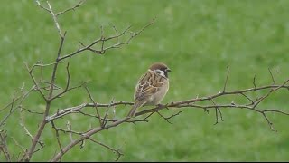 Haussperling / Spatz (Passer domesticus) - House sparrow