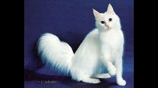 Самые красивые породы кошек - топ 10