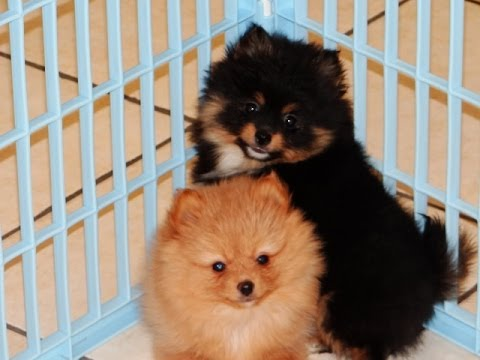 Pomeranian, Puppies, Dogs, For Sale, In Raleigh, North ...