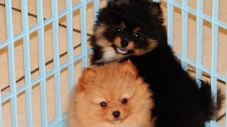 Pomeranian, Puppies, For, Sale, In, Charleston, South Carolina, Sc, Cayce, Beaufort, Bluffton, Ladso