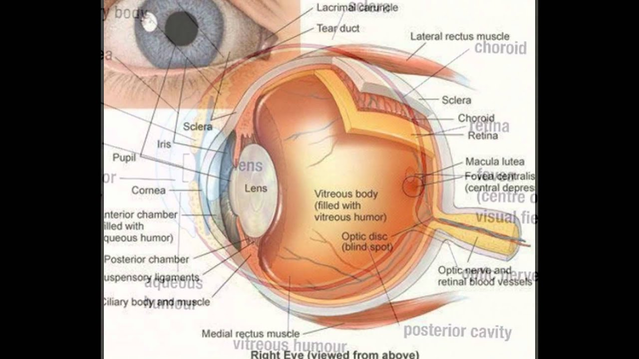 human eye diagram without labels function of parts of eye - youtube eye diagram quizlet #8