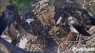 swfl-eagles-dinner-arrives-e9-sleeps-alone-in-nest-tree-3-23-17