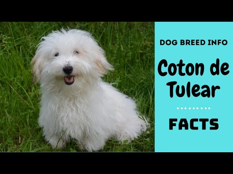 Coton de Tulear dog breed. All breed characteristics and facts about Coton dogs