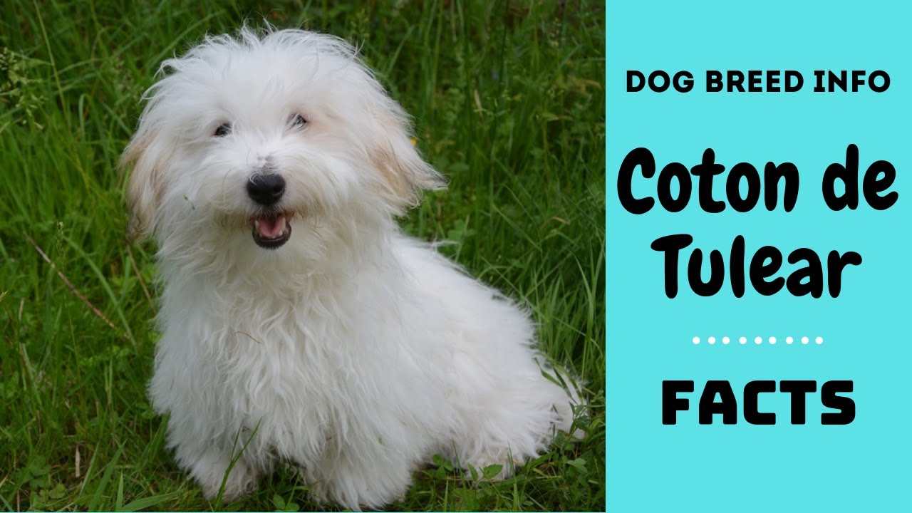 Coton De Tulear Dog Breed All Characteristics And Facts About Dogs