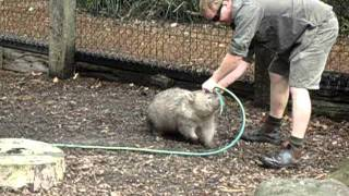 Fatty Wombat wants to play!
