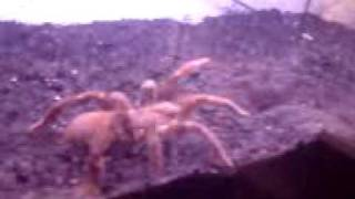 Citharischius Crawshayi Tarantel Vogelspinne bei der Fütterung Part.1