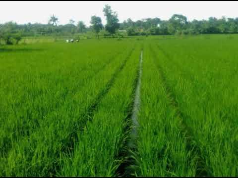 INILAH!!   Cara menanam padi yang baik dan benar Mp3