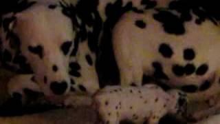 Summit Dalmatians, Pups 6 Weeks Old