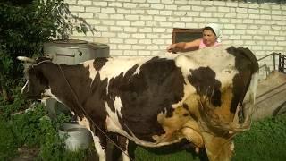 Водные процедуры для коровы
