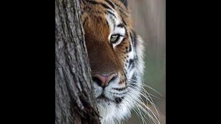 Кошки львы и тигры - семейство кошачьих