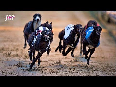 Dog Racing - Greyhounds -Track Race