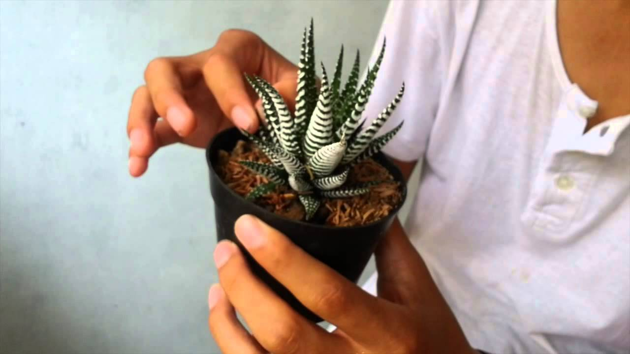 Koleksi Tanaman Royan YouTube
