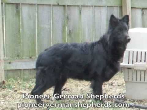 Black German Shepherd breeder - Black German Shepherds in Pennsylvania - Black German Shepards