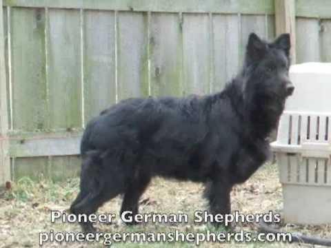 Black German Shepherd Breeder Black German Shepherds In