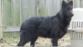 Black German Shepherd Breeder - Black German Shepherds In Pennsylvania - Black German Shepards