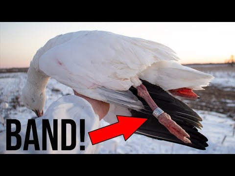 Big Spin With A BAND! | Snow Goose Conservation Hunt 2019