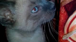 Тайская кошка, новый член семьи.