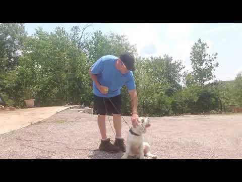 Clumber Spaniel Teaching a NonRetrieving breed to Retrieve