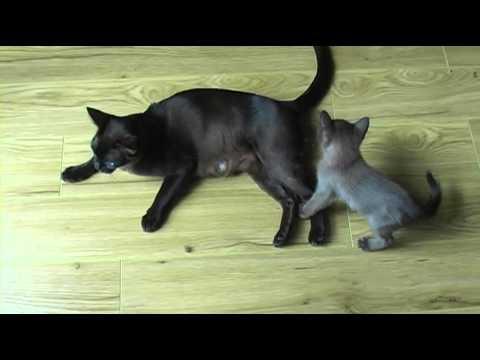 Burmese Kittens playing