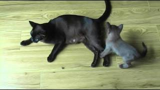 Burmese Kittens playing