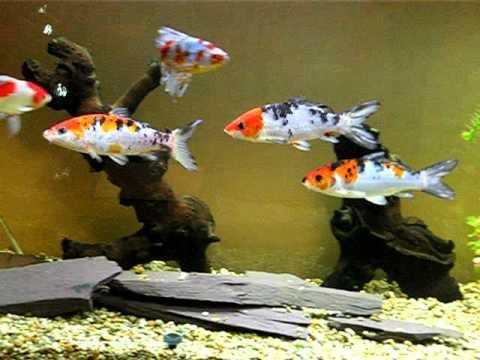 Dave 39 s koi aquarium youtube for Koi im aquarium