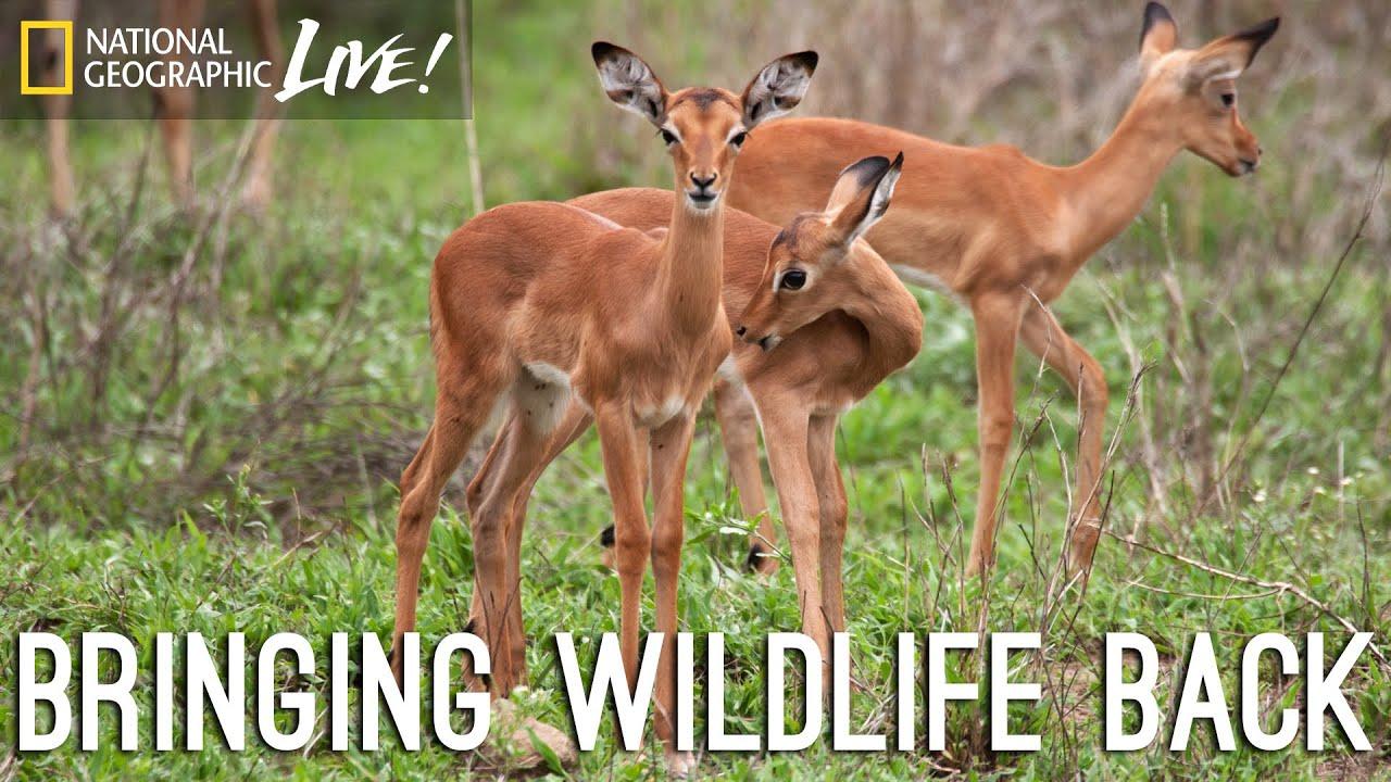 A Park Reborn: Bringing Wildlife Back | Nat Geo Live