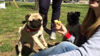 Мопс Рада кушает яблоко с рук // Pug eats apple from hand :))