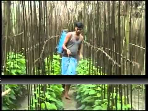 Annadata: All you wanted to know about betel leaf farming