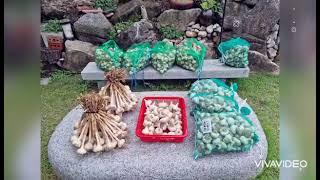 홍산마늘 강원도횡성 박현일 초록색 클로로필 마늘의효능 …