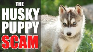 The Siberian Husky Puppy SCAM  HOW TO IDENTIFY & AVOID IT!