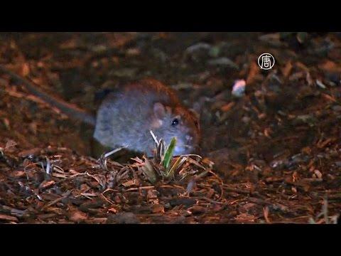 Нью-Йорк захватывают крысы (новости)