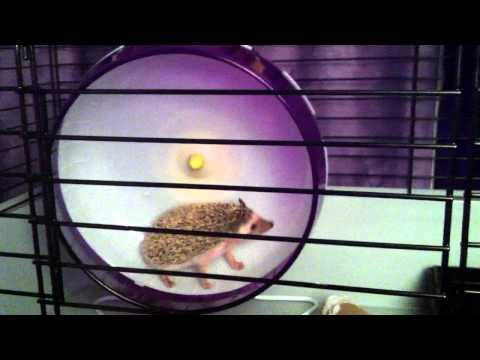 Spiky (10 weeks African hedgehog) on her exercise wheel