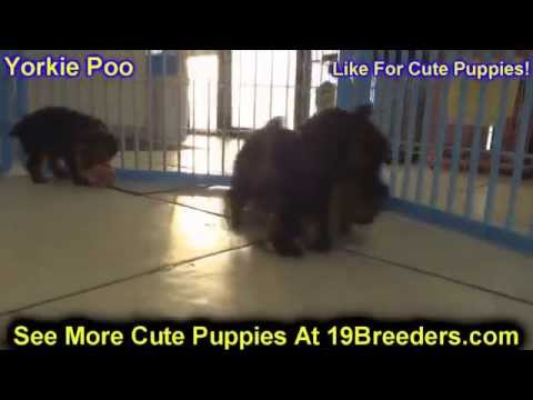Yorkie Poo, Puppies For Sale, In Miami, Florida, FL, 19Breeders, Tallahassee, Gainesville