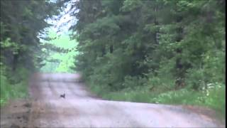Snowshoe Hare and Beagles 6/9/15