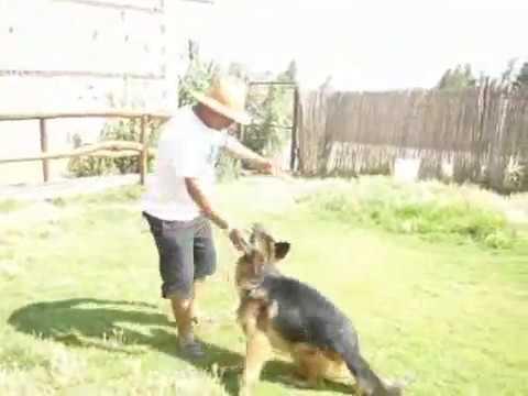 dressage chien kabylie