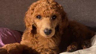 Bringing Home Standard Poodle Puppy