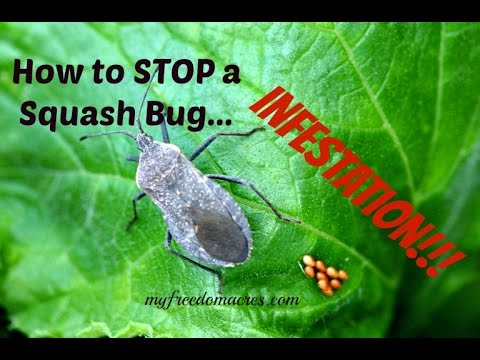 How To Stop A Squash Bug Infestation
