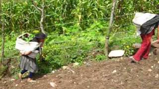 cultivo organico de aguaymanto- saul farfan carazas