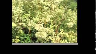 Bumblebees Collecting Meadowsweet   Tea Pursuit