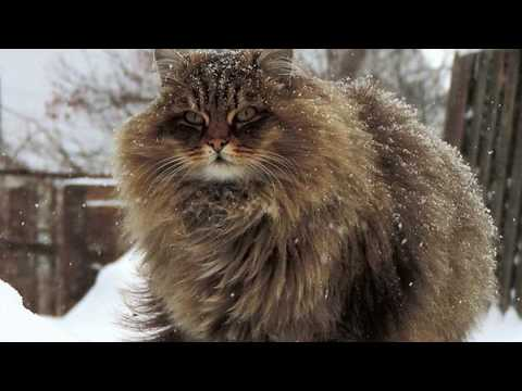 Siberian cats - Big cats come from Russia