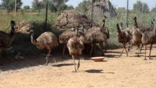 Emu Farming Punjab THE NEST EMU FARMS,09876057076,LUDHIANA,CHANDIGARH,PUNJAB