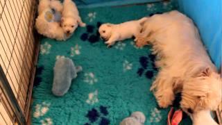 Westie Puppies 3 Weeks Old