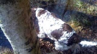 English Springer Spaniel Hunter Dog