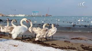 видео Лебеди в Анапе