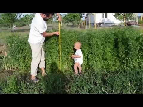 Кориандр: технология выращивания из семян, посадка кинзы