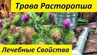 Трава Расторопша. Лечебные Свойства и Применение Травы Расторопша