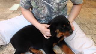 Tape Rottweiler Puppy Ear, Puppy Ear Taping - How To Tape Your Rottweilers Puppies Ears
