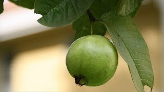Benefits Of Guava Leaves For Weight Loss | Weight Loss For Women