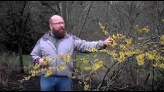 Gardening tips: Pruning Witch Hazel