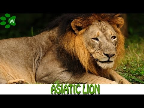 Asiatic Lion - The King of the Jungle